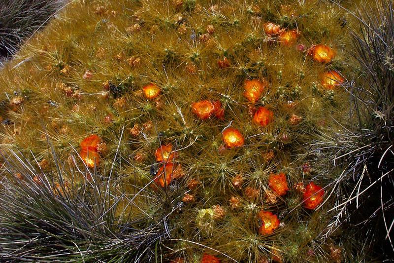 Altipl, Cactus Surire2