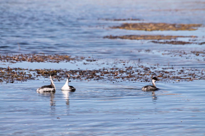 Blanquillo (Silvery Grebe)