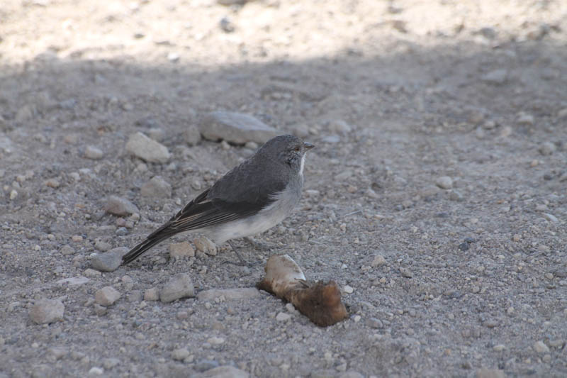 Cometocino de Arica (White-throated Sierra-Finch)