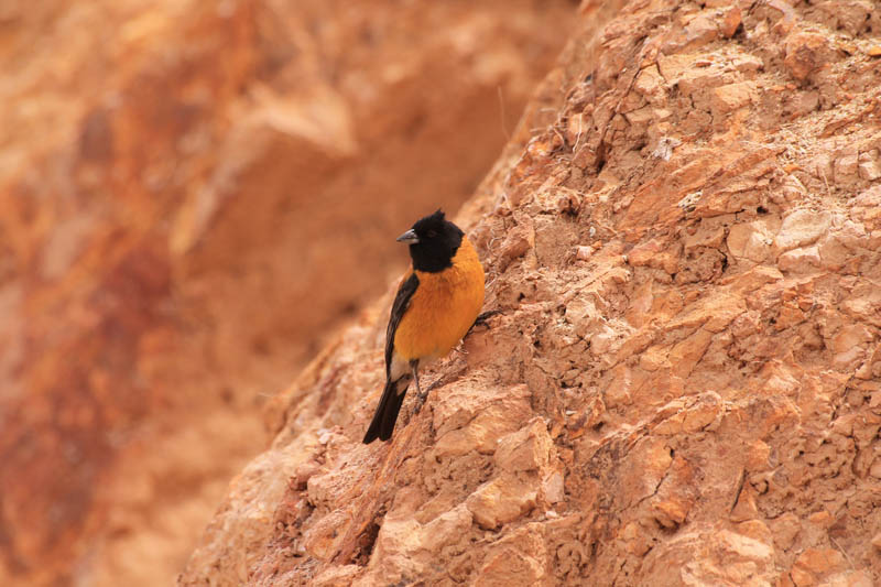 Cometocino del Norte 2 (Black-hooded Sierra-Finch)