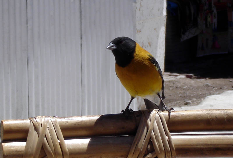 Cometocino del Norte (Black-Hooded Sierra-Finch)