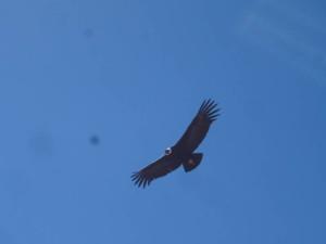 Condor (Andean Condor)