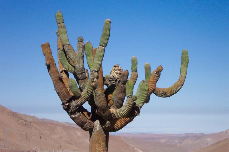 Desierto, Cactus candelabro5