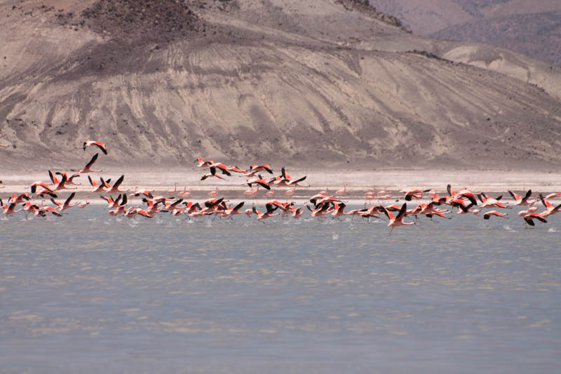 Flamenco Chileno (Chilean Flamingo), Surire Salt  Flat