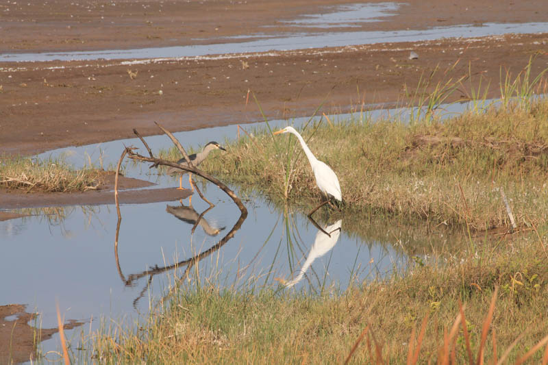 Garza Grande (Great Egret)