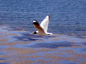 Gaviota Andina (Andean Gull)