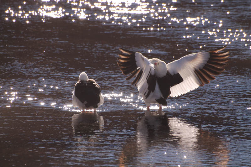 Guallata (Andean Goose)