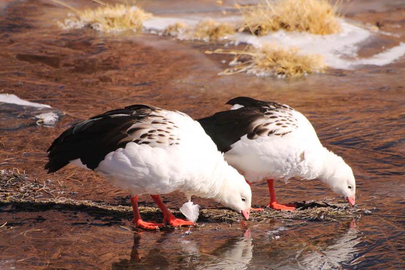 Guallata (Andean Gooser)