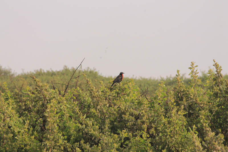 Loica Peruana (Peruvian Meadowlark)