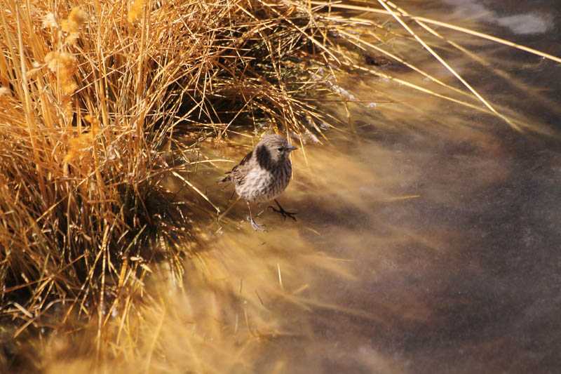 Pajaro Plomo, hembra (Plumbeous Sierra-Finch, female)