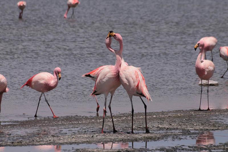 Parina Chica (Puna o Jame´s Flamingo)