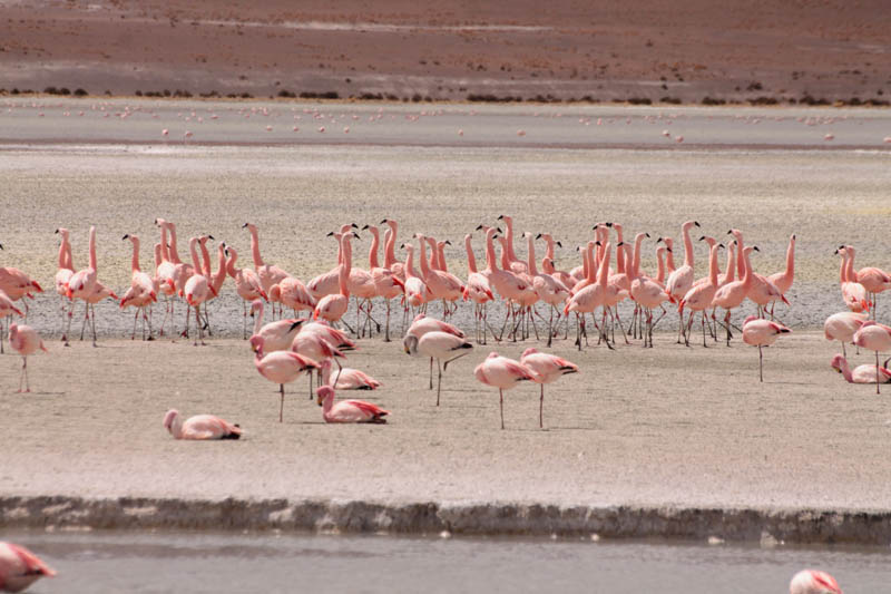 Parinas (Flamingoes)