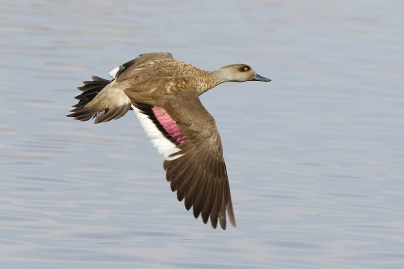 Pato Juarjual (Crested Duck)