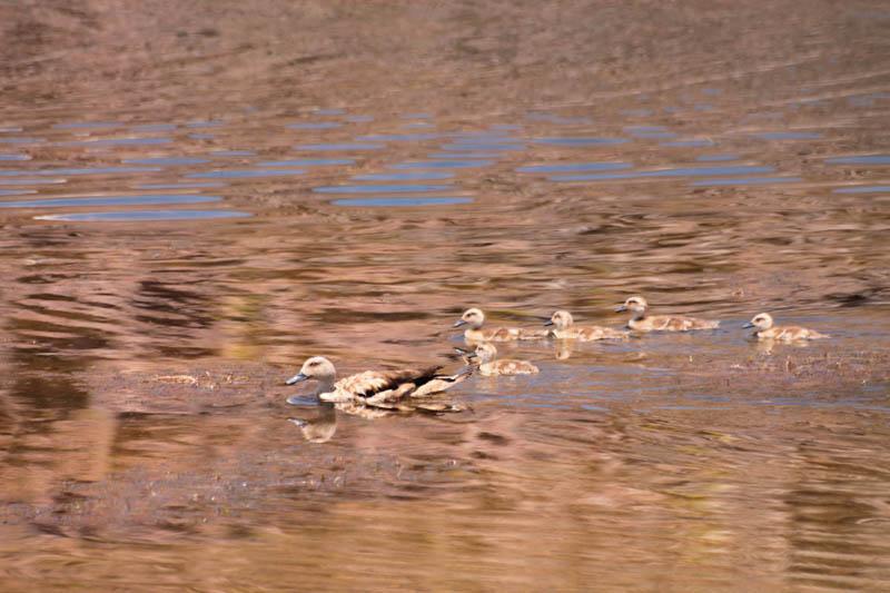 Pato Juarjual con crias (Crested Duck)