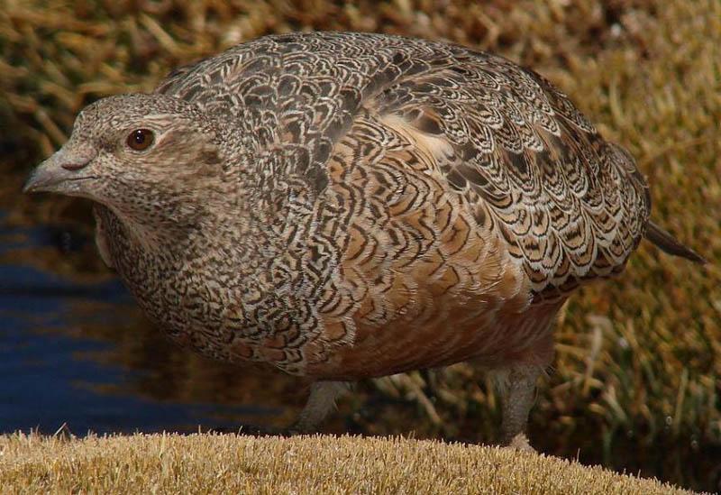 Perdicita Cordillerana (Rufous-bellied Seedsnipe)