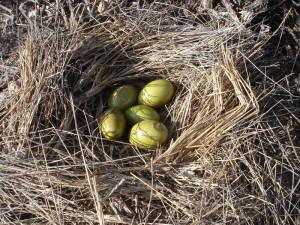 Perdiz de la Puna huevos (Puna Tinamou, eggs)