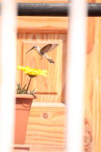 Picaflor del Norte (Oasis Hummingbird)