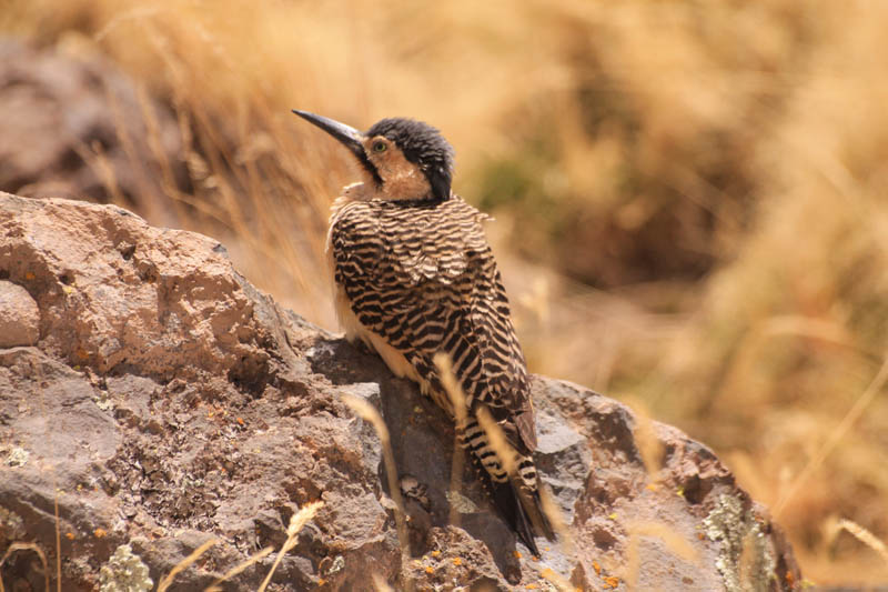 Pitio del Norte (Andean Flicker)