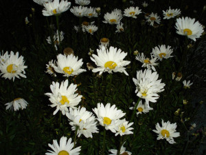 Precord, flores plaza Socoroma