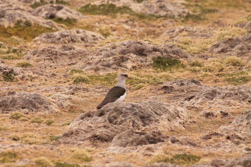 Queltehue de la Puna (Andean Lapwing)